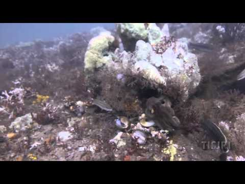 Octopus Charges Scuba Diver's Hands and Regulator Hoses