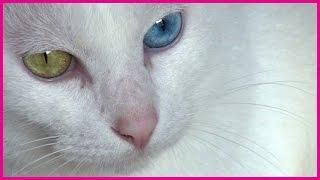 左右の目の色(虹彩色)が異なる猫は、オッドアイの猫と呼ばれています。 白猫に多く、うちのユキちゃんも白猫です。 目の色は、普通は片方が青色で、もう片方が橙色、 ...