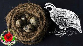 Чем полезны перепелиные яйца? Польза перепелиных яиц.