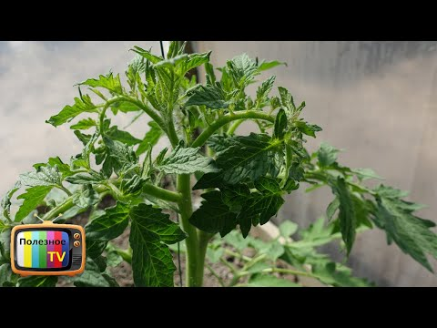 СКРУЧИВАЮТСЯ ЛИСТЬЯ У ТОМАТОВ ВСЁ ИСПРАВИТЬ ОЧЕНЬ ПРОСТО   выращивание   увеличить   подкормка   средство   помидоры   полезное   томатов   урожай   томаты   супер