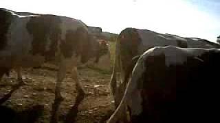 Vache Laitière au champs