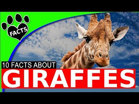 Top 10 Giraffe Facts - World's Tallest Animal