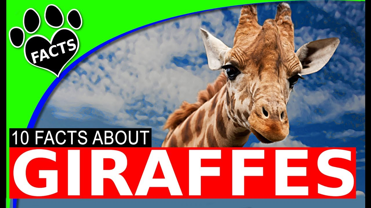 Animals Kids Love: Top 10 Giraffe Facts for Kids World's Tallest Animal - Animal Facts