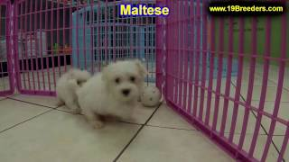 Maltese, Puppies For Sale, In Atlanta, Georgia, Ga, Savannah,sandy Springs, Roswell