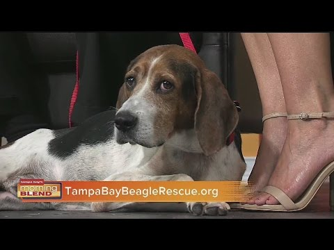 Tampa Bay Beagle Rescue