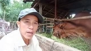 Ba cách nhận biết bò đã mang thai sau khi phối giống, nuôi bò sinh sản.NÔNG DÂNTV