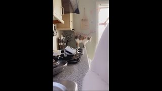 Cat Avoids Slipping Off The Kitchen Counter With A Quick Save