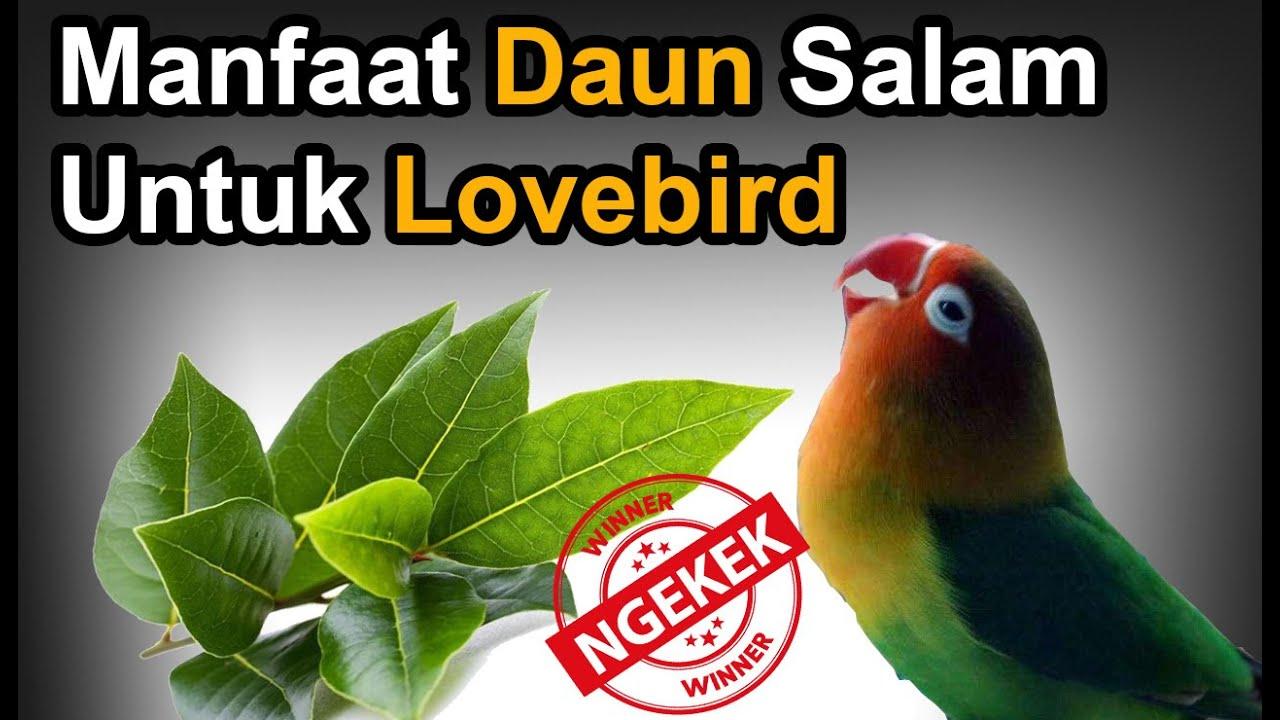 Manfaat Daun Salam untuk Lovebird Ngekek + Beserta cara ...