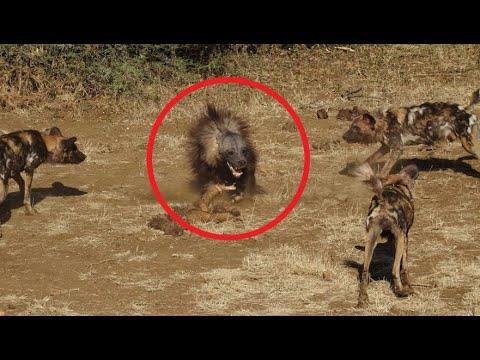 Вопрос: Какой вид обезьян боятся львы и почему?