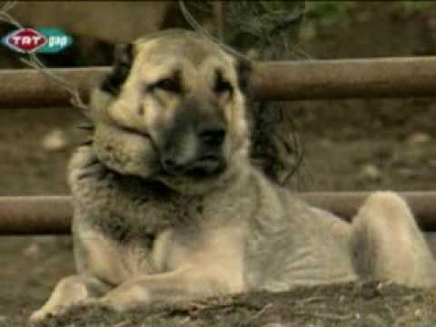 world biggest and strongest kurdish kangal dogs youtube. Black Bedroom Furniture Sets. Home Design Ideas