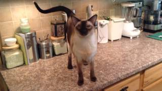 Chat with a Talkative Siamese