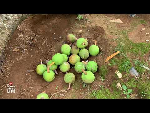 COUNTRY LIFE IN JAMAICA IS THE BEST LIFE | EP481 | JAMAICA GOOD LIFE 🇯🇲 from YouTube · Duration:  25 minutes 8 seconds