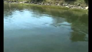 great white shark in massachusetts salt pond 2