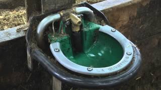 Jeunes Bovins : réduire le gaspillage d'eau à l'abreuvoir