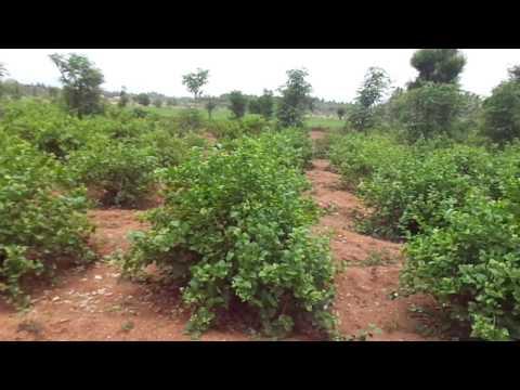 Jasmine flowers garden (plant) mp3 indir