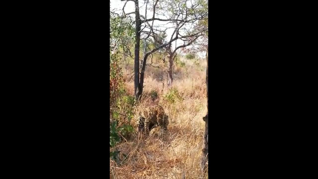 Mating leopards close to Little Bush Camp