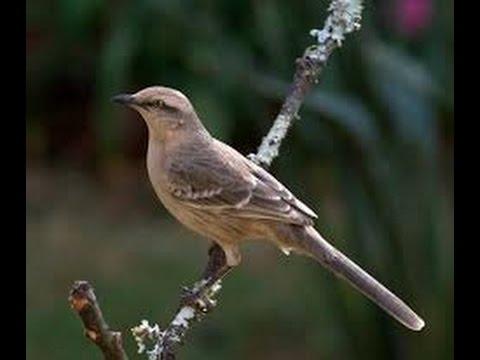Clases de aves la calandria youtube for Lecciones de castorama de bricolaje