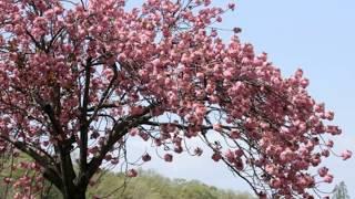 美川憲一さんの歌で、「新潟ブルース」を歌ってみました。お聴き頂ける...