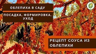 Как посадить и вырастить облепиху в своем саду//Полезные свойства облепихи//Соус к мясу из облепихи