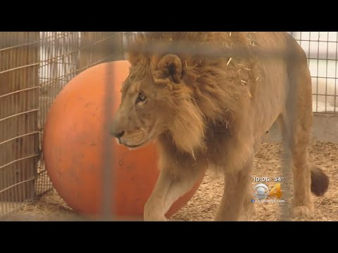 Lion, Tiger Rescued From Saipan Integrating Into Keenesburg Sanctuary