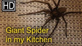 Giant Spider in my Kitchen!