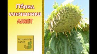 Подсолнечник Лимит 🌻, описание гибрида 🌻 - семена в Украине