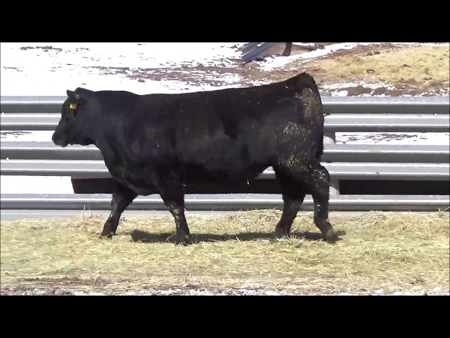 Connealy Angus Lot 35