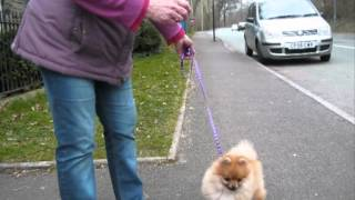 Barley, Pomeranian Puppy, Lead -training