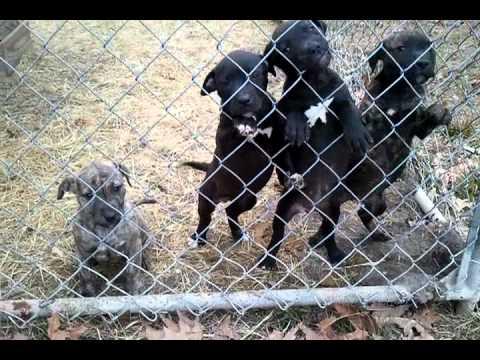 Pitbull puppies 2012 north carolina