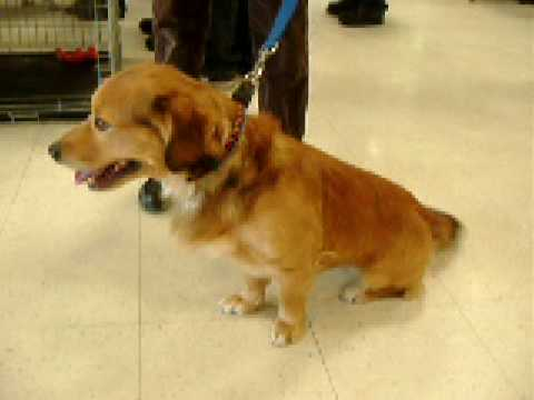 Adopted Rose Hope Animal Dogs Golden Retrievercorgi Mix Youtube