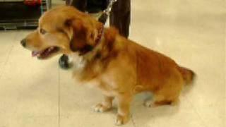 Adopted!!! Rose Hope Animal- Dogs - Golden Retriever/corgi Mix