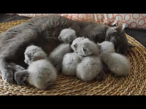Kitten Meowing after Mom's Milk, British Shorthair - 4K footage