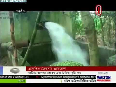 Azolla being used as fertilizer (15-09-2017)