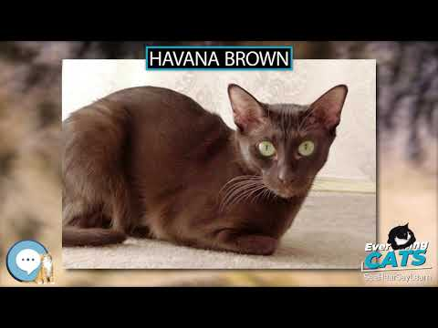 Havana Brown 🐱🦁🐯 EVERYTHING CATS 🐯🦁🐱