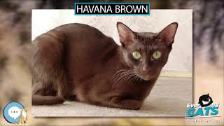 Havana Brown  EVERYTHING CATS