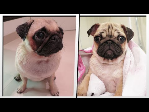 PUG BATH TIME | MoreTDM