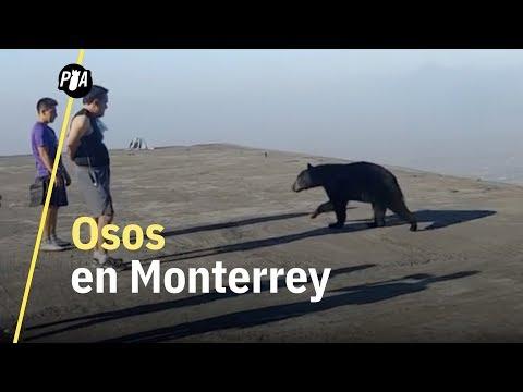 Osos en las calles de Monterrey