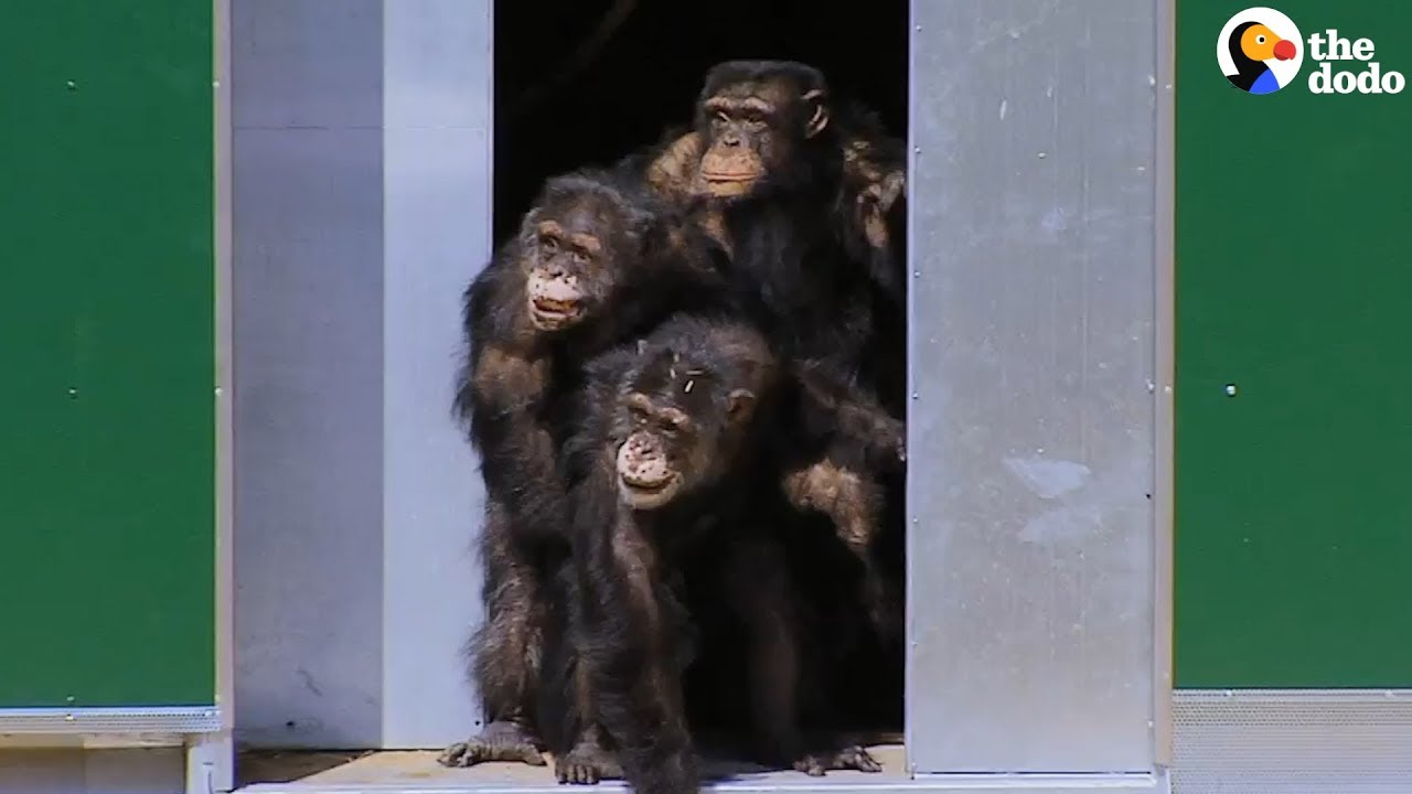 Chimps Tested On In Labs Can't Believe Their New Home | The Dodo