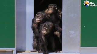 Chimps Tested On In Labs Can