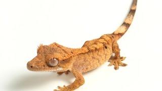 Ресничный геккон–бананоед. Содержание экзотической ящерицы в террариуме