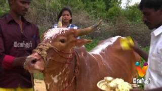"Moondravathu Kan [Epi-483] |""68 Goddess Represent As 1 Cow"" | Vellore,TN"