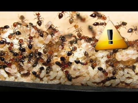 comment faire d m nager une colonie de fourmis installation et levage youtube. Black Bedroom Furniture Sets. Home Design Ideas
