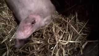 Artgerechte Schweinehaltung für den Eigenbedarf - Teil 1: Die Schweine treffen ein