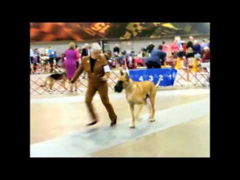 2016 GREAT DANE DOG SHOW RICHMOND VA JANUARY 30