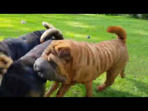 Shar Pei Playing
