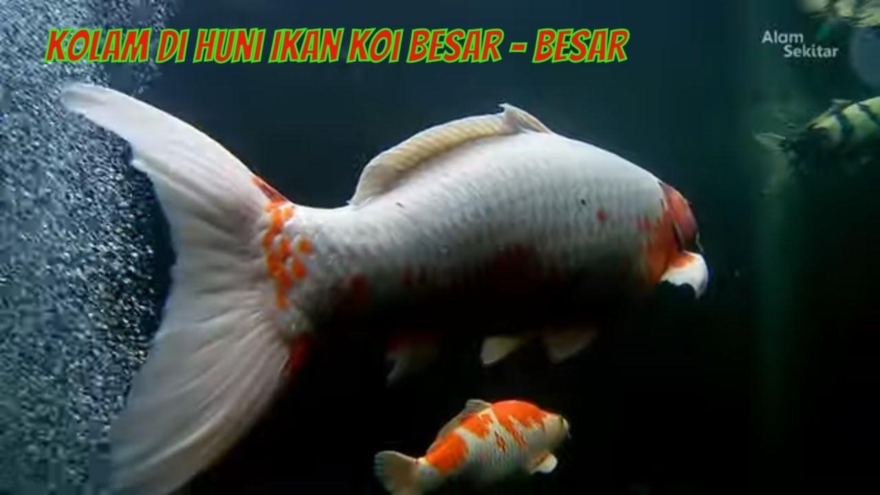 Ikan Koi Besar