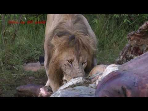 Lion pride eats an entire hippo in 3 days