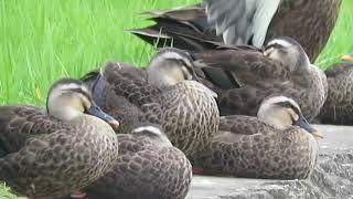 千葉県旭市袋公園の鴨の様子です。 SX710HSで撮影。 Weather report vid...