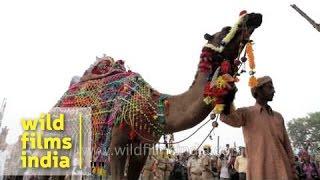 Camel dance showcase at Pushkar mela, Rajasthan
