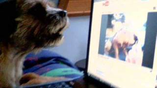 Border Terrier's Sing Along
